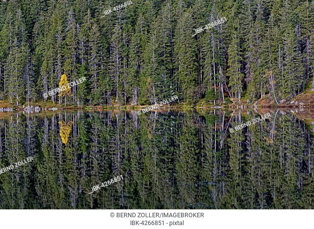 Spruce trees (Picea abies) and a yellow birch (Betula), reflected in Certovo jezero lake, Certovo, Sumava National Park, Bohemia, Czech Republic