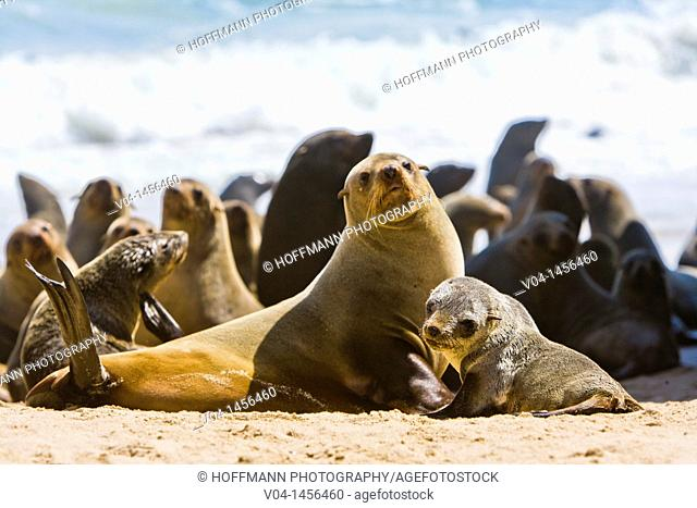 A cape fur seal mother (Arctocephalus pusillus) with its offspring on the shore, Namibia, Africa