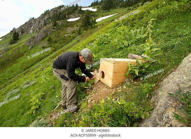 Vancounver Island Marmot release, Strathcona, BC, Canada