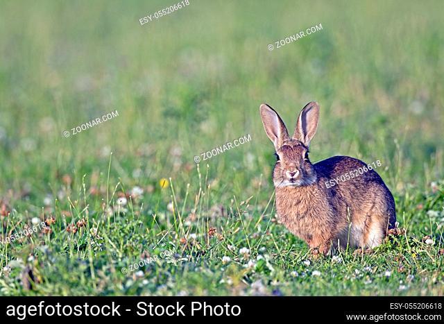 Wildkaninchen erreichen eine Koerperlaenge von 40 cm - (Europaeisches Wildkaninchen - Foto Wildkaninchen Jungtier am Abend auf einer Wiese) / European Rabbit