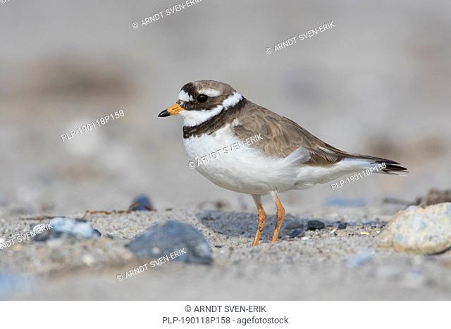 Common ringed plover (Charadrius hiaticula) in breeding plumage foraging on the beach in spring / summer