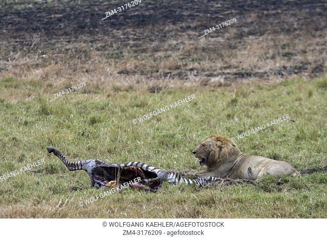 A male lion (Panthera leo) at a zebra kill in the Masai Mara National Reserve in Kenya