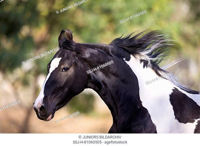Marwari Horse. Piebald stallion galloping in a paddock, portrait. India