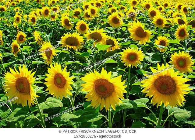 field of sunflowers, Switzerlannd