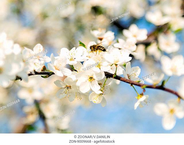 Spring flowers petal blooming fruit tree wallpaper
