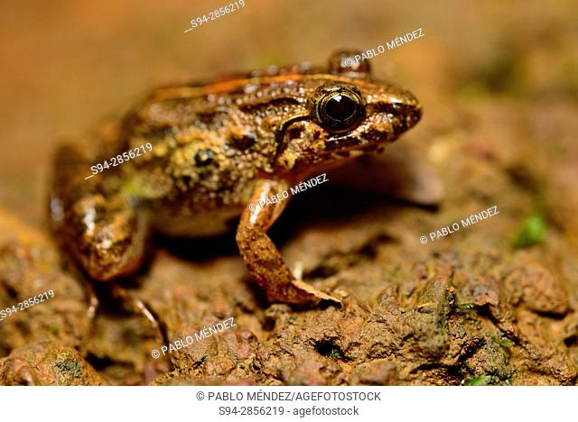 Common frog (Fejervarya keralensis) in Cotigao, Goa, India