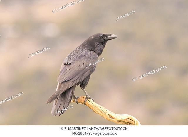 Crow (Corvus corax), Photographed in espinar segovia