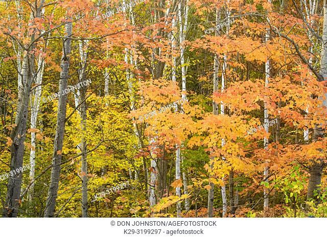 Autumn maple foliage and birch tree trunks, Greater Sudbury, Ontario, Canada