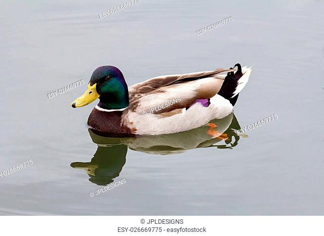 Male Drake Mallard Duck Swimming in River with Water Reflection Closeup Portrait