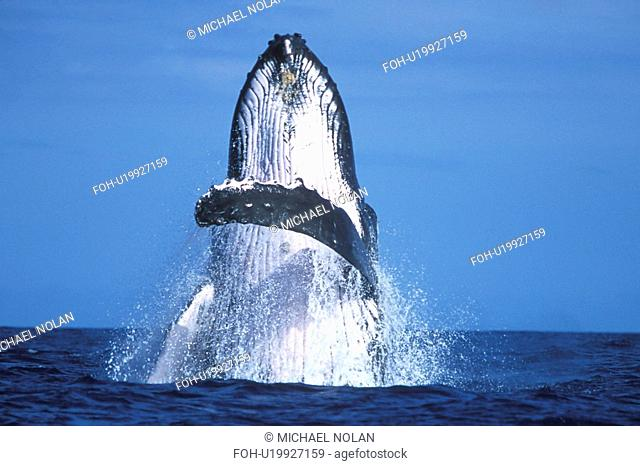 Humpback Whale Megaptera novaeangliae Adult breaching. AuAu Channel between Maui and Lanai in Hawaii, USA. Pacific Ocean
