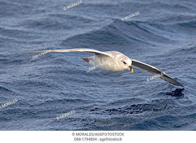 Norway , Spitzbergern , Svalbard , Northern Fulmar or Arctic Fulmar Fulmarus glacialis  in flight