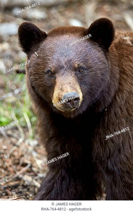 Cinnamon black bear (Ursus americanus), Yellowstone National Park, Wyoming, United States of America, North America
