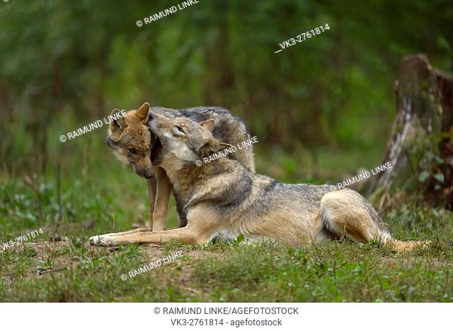 European Gray Wolf, Canis lupus lupus, Wolf with Young, Germany