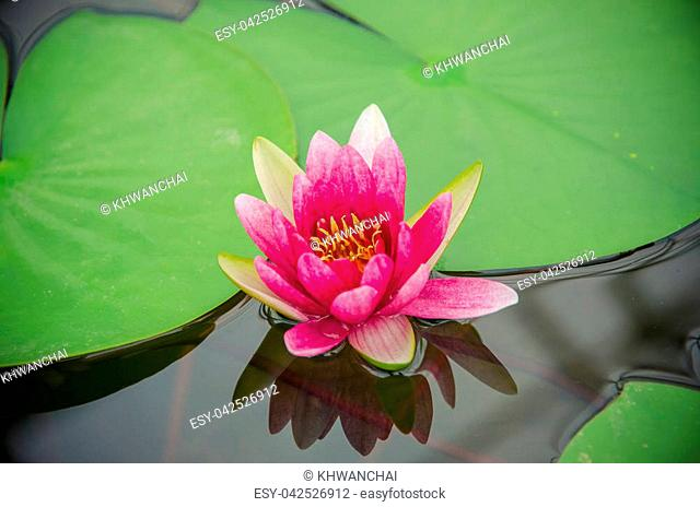 Nymphaea-Hybrid. Nymphaeaceae family. Colorful water lilly in pond
