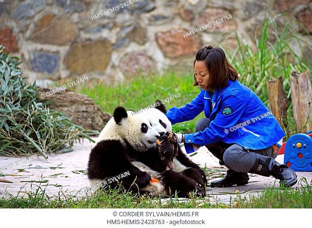 China, Sichuan province, Chengdu, Research Base of Giant Panda Breeding or Chengdu Panda Base, Giant Panda (Ailuropoda melanoleuca), and keeper, captive