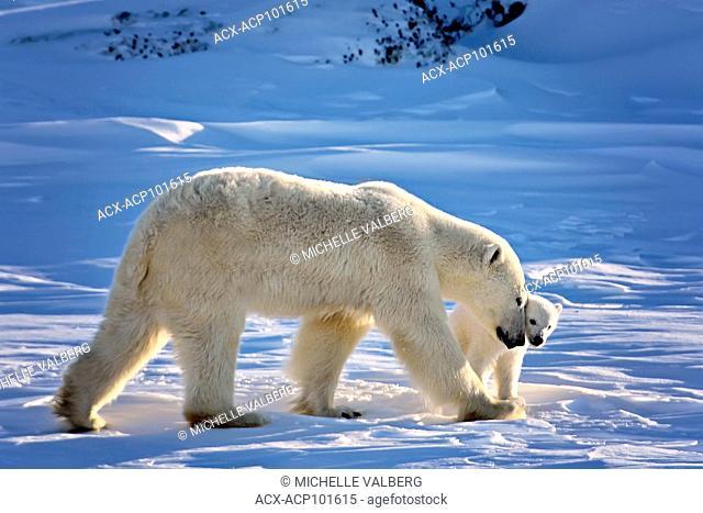 Female Polar Bears, Ursus maritimus, with cubs in the Canadian arctic, Nunavut, Canada