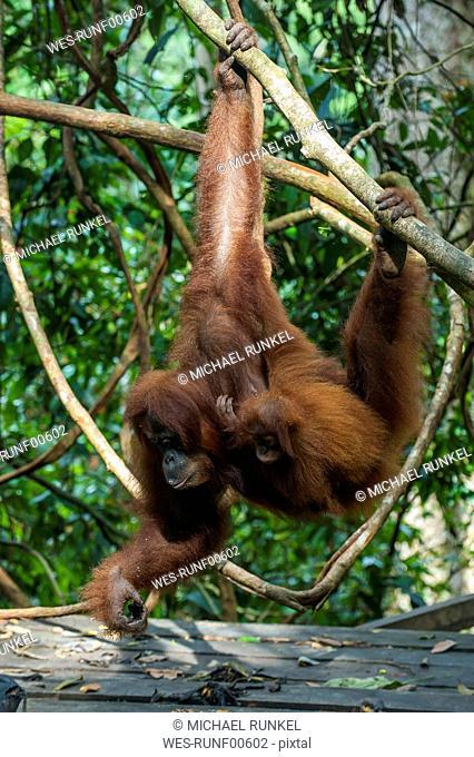 Indonesia, Sumatra, Bukit Lawang Orang Utan Rehabilitation station, feeding time for the Sumatran orangutan
