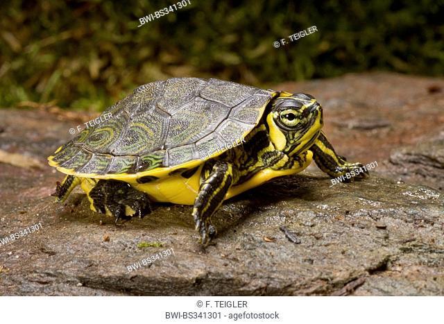 slider, common slider, pond slider, yellow-bellied turtle (Trachemys scripta scripta, Pseudemys scripta scripta, Chrysemys scripta scripta), lying on a wet rock