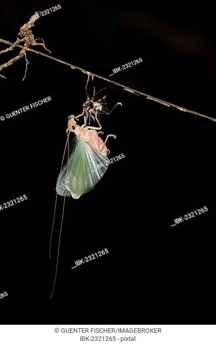 Bush cricket or Katydid (Tettigoniidae) moulting, Tiputini, rainforest, Yasuni National Park, Ecuador, South America