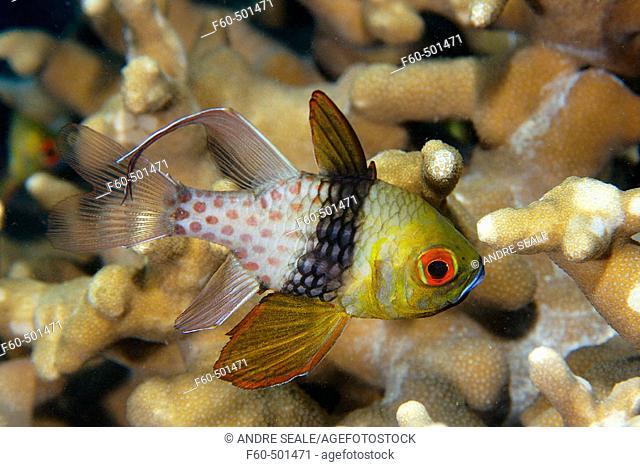 Pajama cardinalfish, Sphaeramia nematoptera, Palau, Micronesia