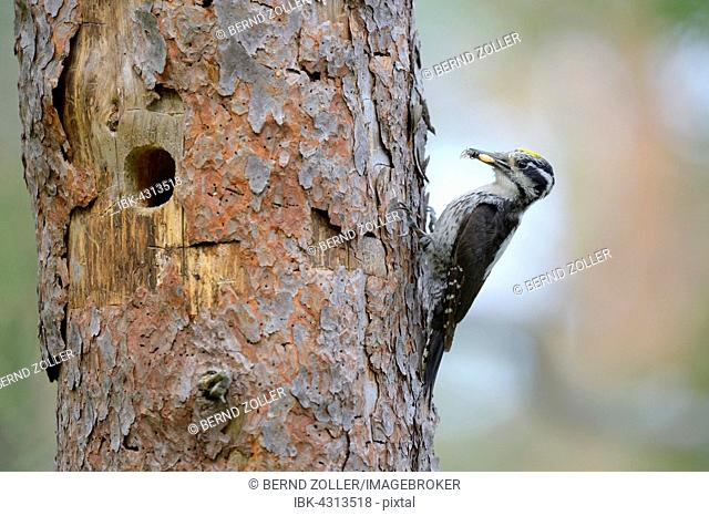 Three-toed woodpecker (Picoides tridactylus), male at nesting hole, old pine trunk, food in beak, Rokua National Park, Utajärvi, Finland