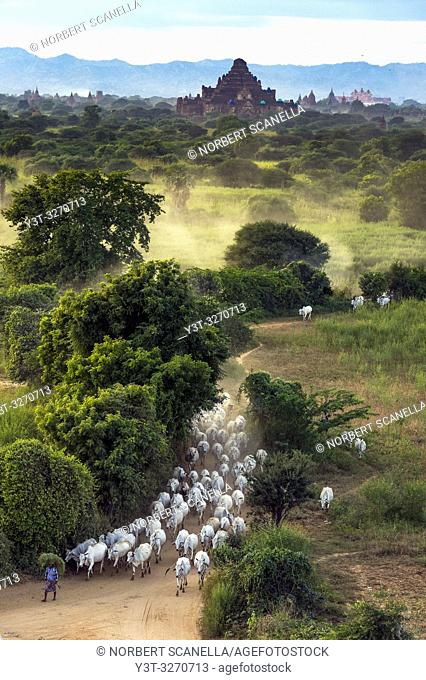 Myanmar (ex Birmanie). Bagan, Mandalay region. Herd of cows in the plain of Bagan