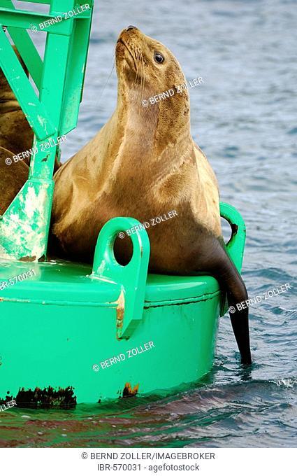 Steller sea lion (Eumetopias jubatus) on a light buoy, Prince William Sound, Alaska, USA, North America