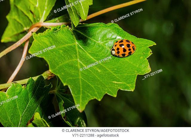 Asian Multicolored Lady Beetle Harmonia axyridis on Grape Vitis aestivalis Leaf