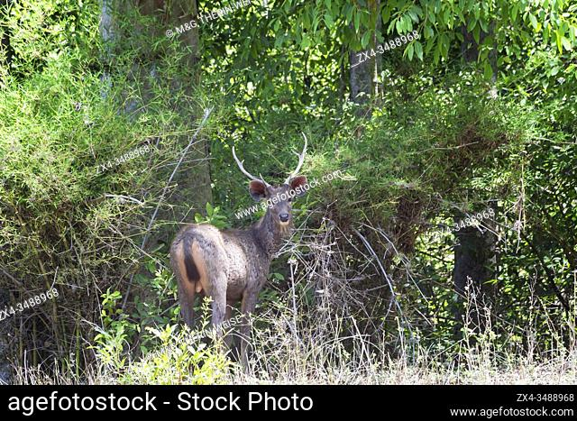 Stag Sambar deer (Rusa unicolor) in the forest, Bandhavgarh National Park, Madhya Pradesh, India