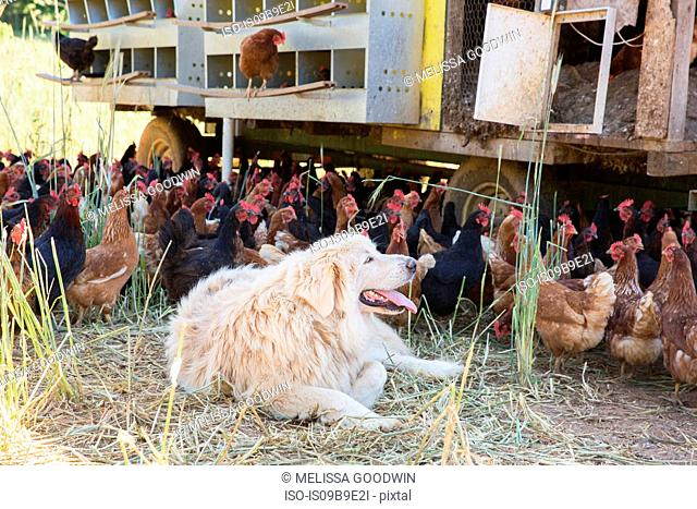 Pyrenean mountain dog lying down by free range golden comet and black star hens on organic farm