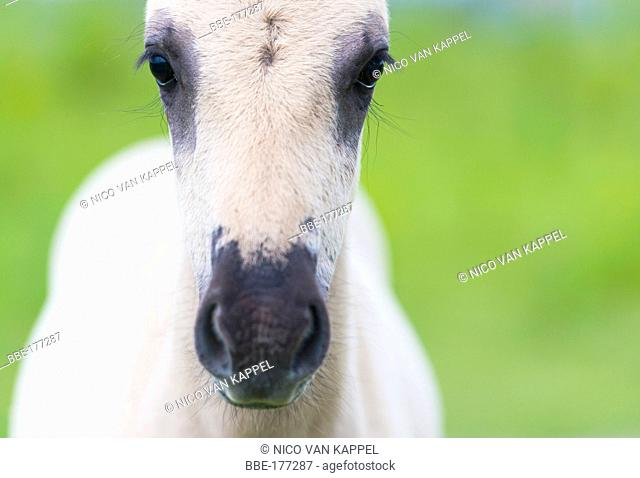 koniki horse foal