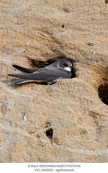 Sand Martin / Bank Swallow / Uferschwalbe ( Riparia riparia ) sitting in, digging its nest hole, part of a breeding colony in a sand pit, wildlife, Europe