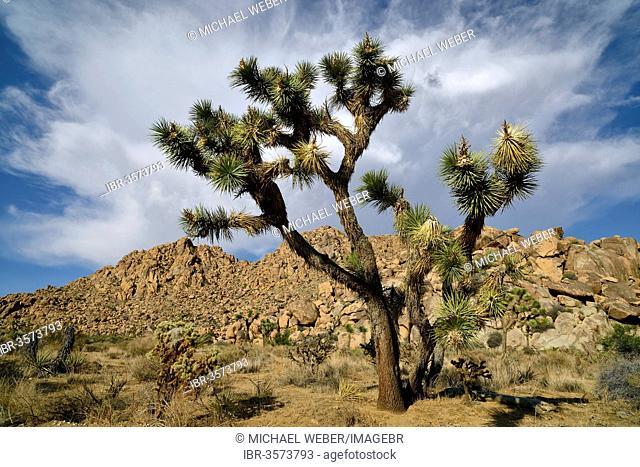 Joshua Tree or Yucca Palm (Yucca brevifolia)