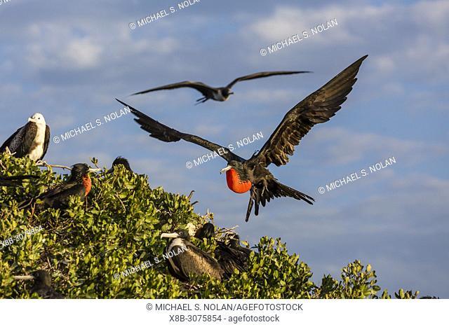 Adult male magnificent frigatebird, Fregata magnificens, San Gabriel Bay, Espiritu Santo Island, BCS, Mexico