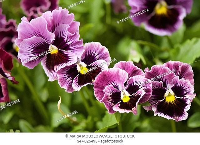 Pansy Flower Quartet. Viola x wittrockiana