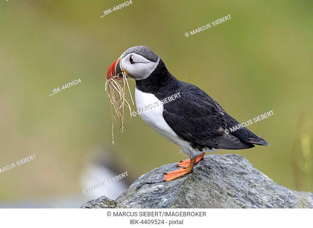 Puffin (Fratercula arctica) sits with nesting material on rock, Runde bird island, Norway