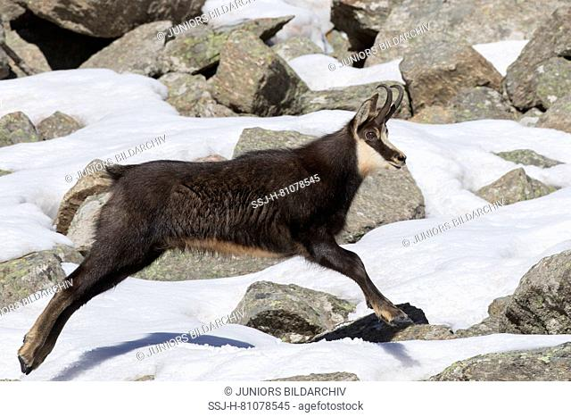 Chamois (Rupicapra rupicapra) Male fleeing. Alpes, Italy