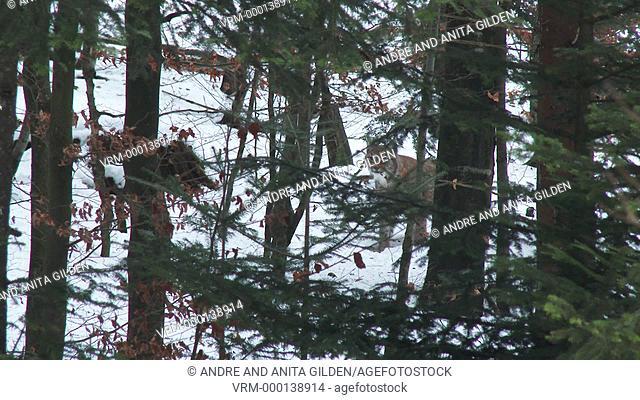 Eurasian Lynx ( Lynx lynx) pair among rocks