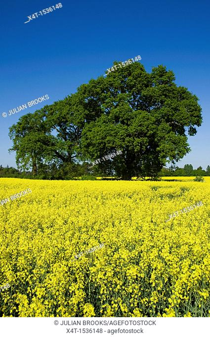 Trees and yellow rape seed field in Oxfordshire, blue sky, sunshine, Brassica Napus