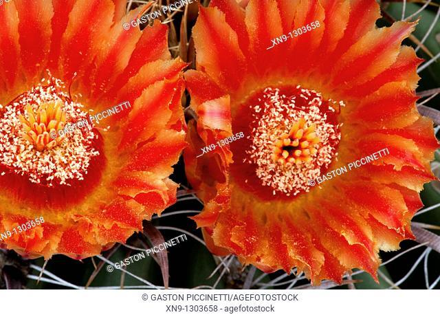 Ferocactus wislizeri flowers, Sonora desert, Tucson, Arizona, USA