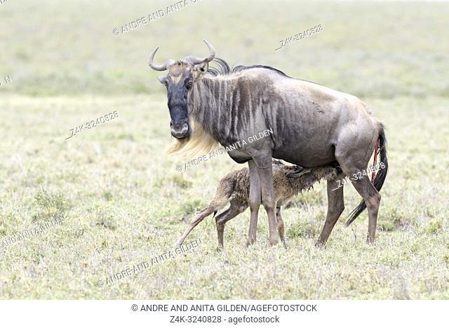 Blue Wildebeest (Connochaetes taurinus) mother feeding newborn calf, Ngorongoro crater national park, Tanzania