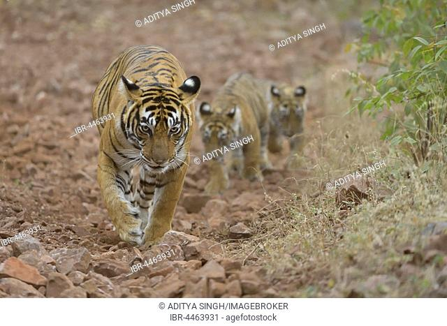 Bengal Tiger (Panthera tigris tigris), mother with cubs walking on forest path , Ranthambhore National Park, Rajasthan, India