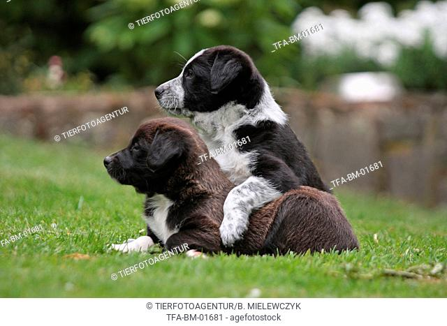 playing mongrel puppies