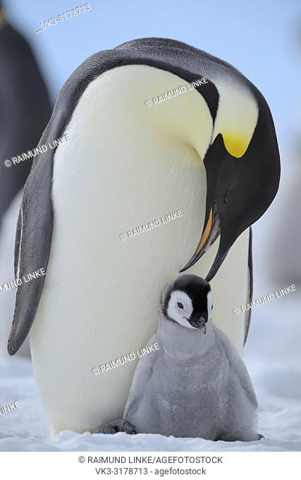 Emperor penguins, Aptenodytes forsteri, Adult Protecting her Chick on her Feet, Snow Hill Island, Antartic Peninsula, Antarctica
