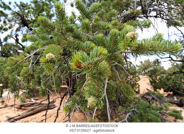 Colorado pinyon or pinyon pine (Pinus edulis) is a coniferous tree native to central-western USA. Cones and leaves detail