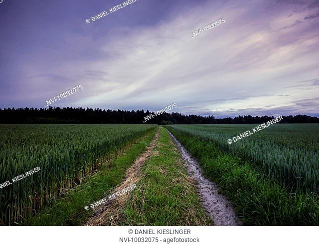 Tractor track in the cornfield, Bavaria, Germany