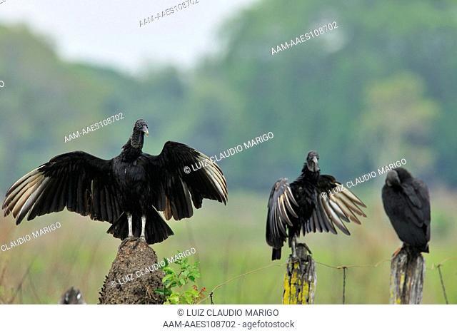 Black Vulture (Coragyps atratus) drying wings near Pixaim River, Pantanal of Mato Grosso, Mato Grosso State, Western Brazil