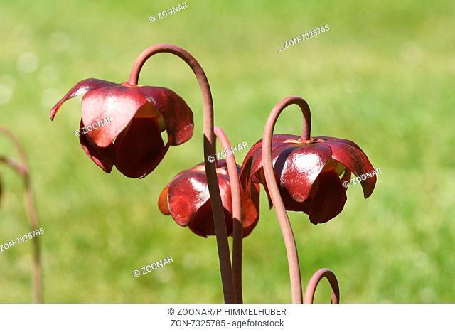 Purple pitchers plant
