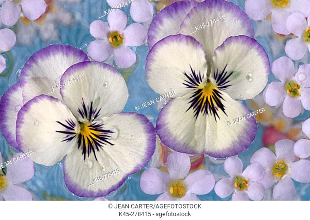 Violas and Bacopa floating on water, Oregon, USA