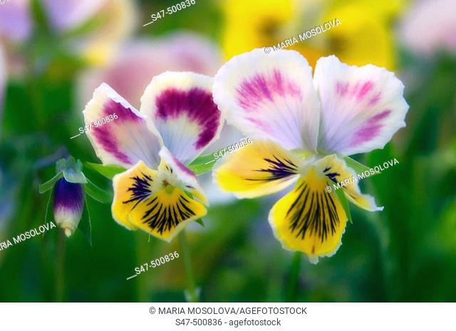 Pansy Flower Family. Viola x wittrockiana. Maryland, USA